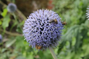 echninops rito Planting herbaceous plants for Butterflies and Bees