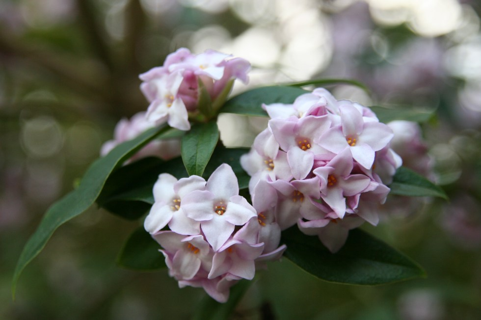 img 0910 Plant of the week  Daphne bholua Jacqueline Postill