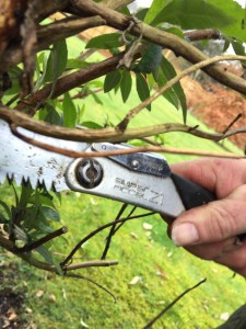 img 2083 Job of the week  Pruning Buddleja