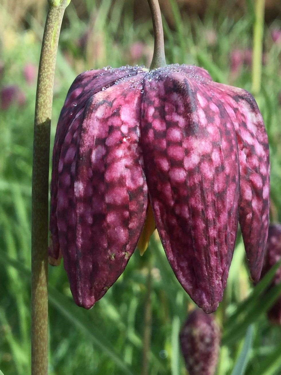 img 2214 Plant of the week  Fritillaria meleagris