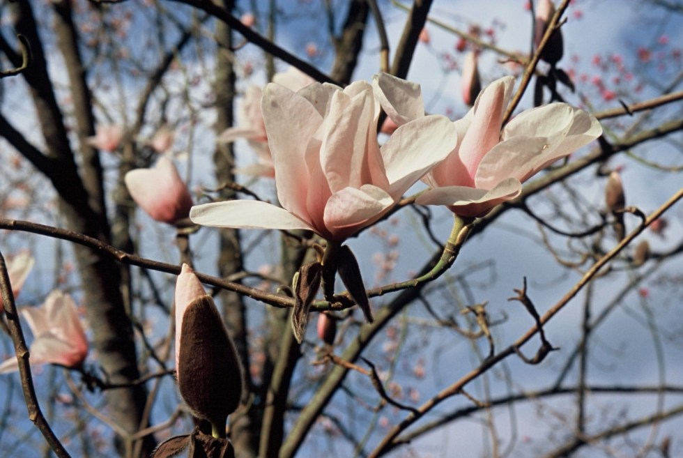 picture2 Plant of the week Magnolia campbellii
