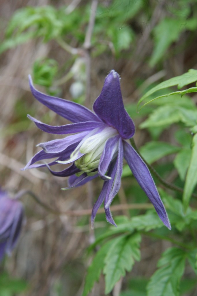 clematis macrocarpa maidwell hall