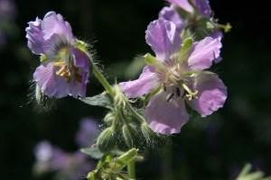geranium phaeum joan baker2 Plant of the week  Geranium phaeum