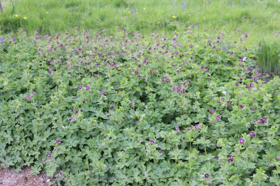 geranium phaeum Plant of the week  Geranium phaeum