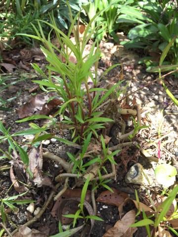 img 2523 Job of the week  pruning back Penstemons