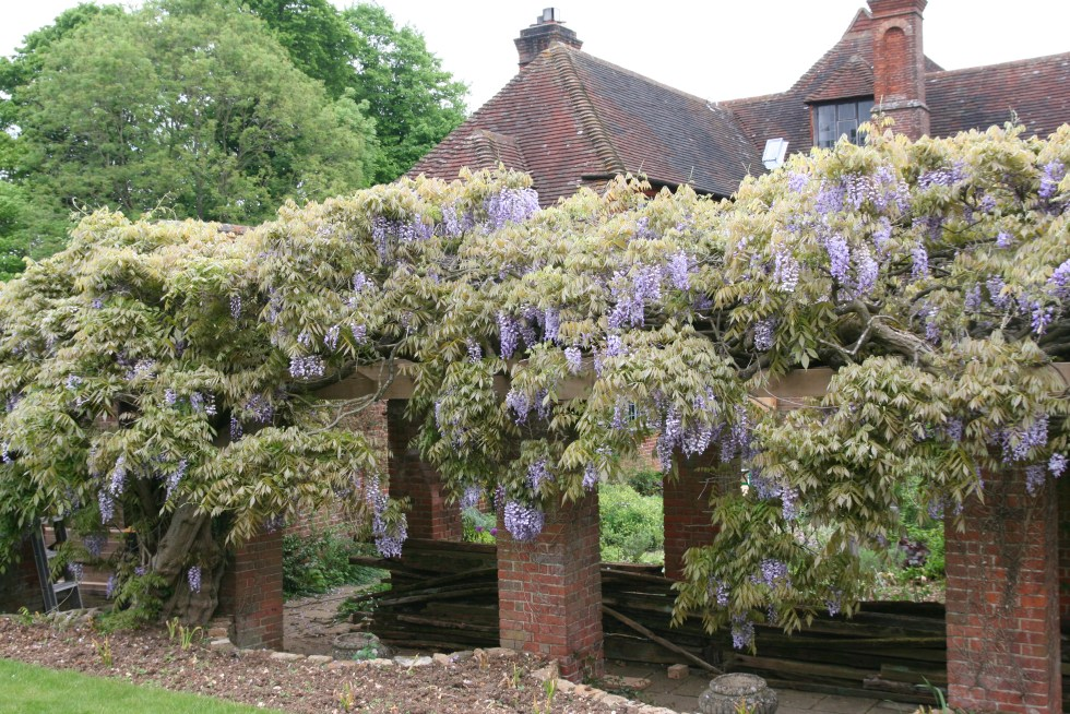 wisteria sinsis Plant of the week  Wisteria sinensis