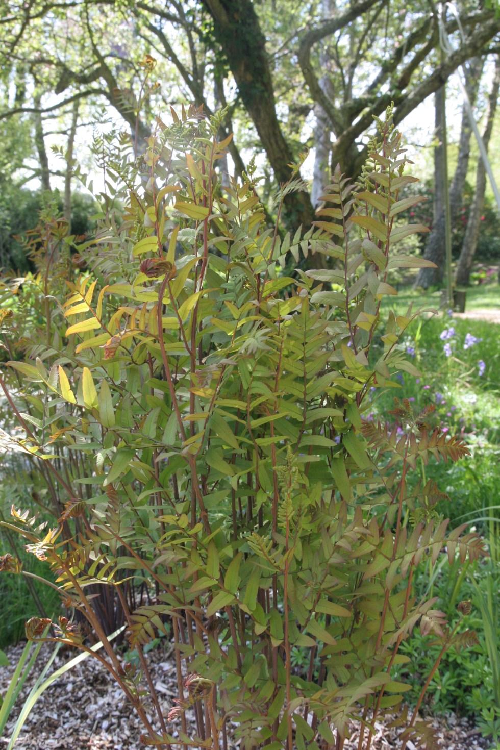 osmunda regalis1 Plant of the week Osmunda regalia