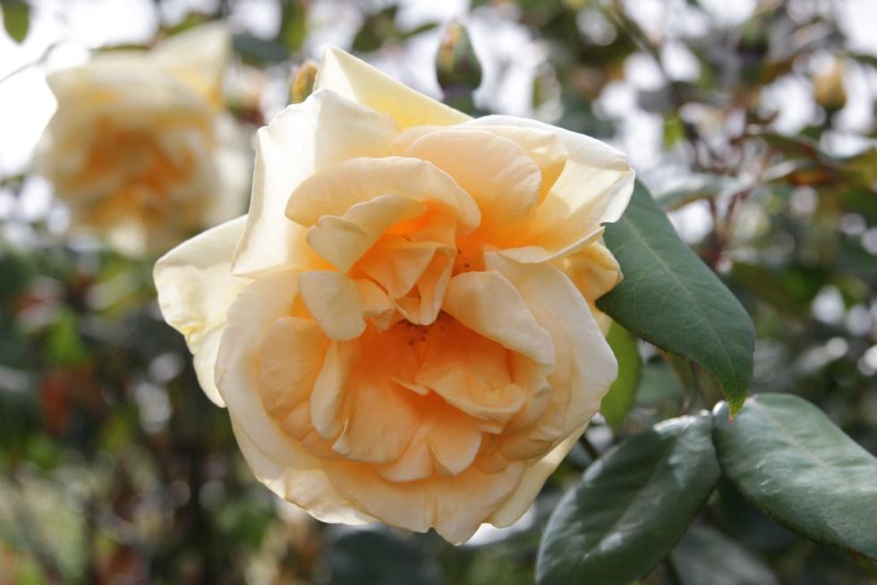 rosa lady hillington 3 Rose of the week  Climbing Lady Hillingdon