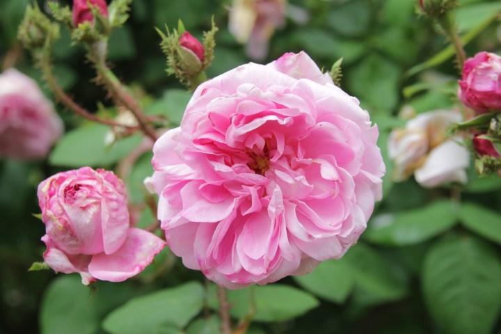 jeanne de montfort 2 Rose of the week  Jeanne de Montfort