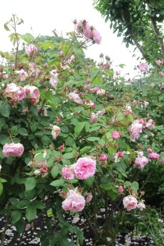 jeanne de montfort 3 Rose of the week  Jeanne de Montfort