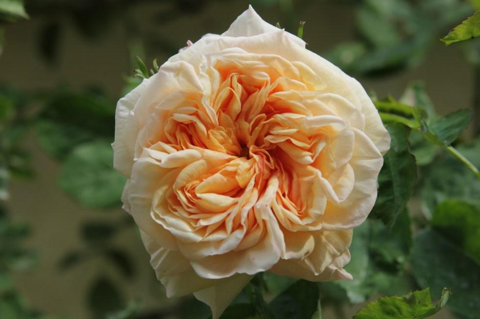 rosa gloire de dijon 3 Lets not forget our heritage roses