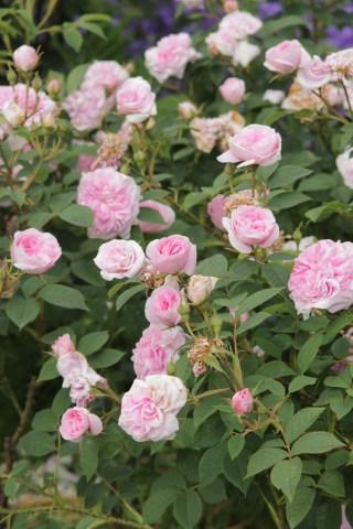rose konigin von danemark Rose of the week Koenigin Von Danemark