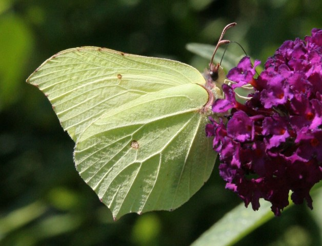 brimstone The Great Butterfly Count