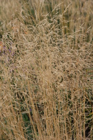 deschampsia cespitosa bronzeschleier 2 15ish eye catching plants at Hampton Court