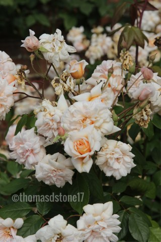 img 0399 Rose of the week   Perle d0r