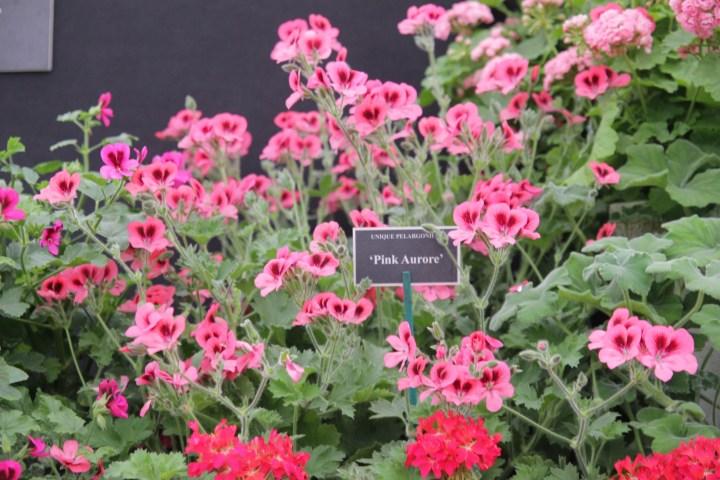 img 1560 15ish eye catching plants at Hampton Court