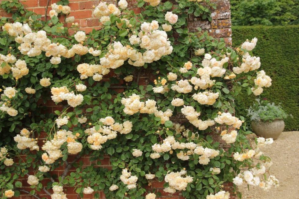 rosa buff beauty6 Rose of the week  Buff beauty
