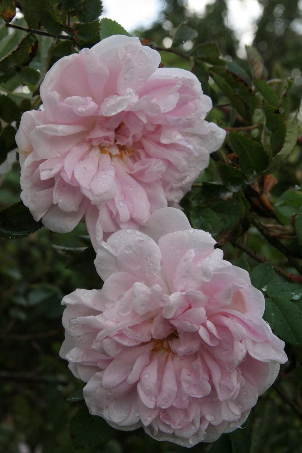 stanwell perpetual 2 Rose of the week  Stanwells perpetual