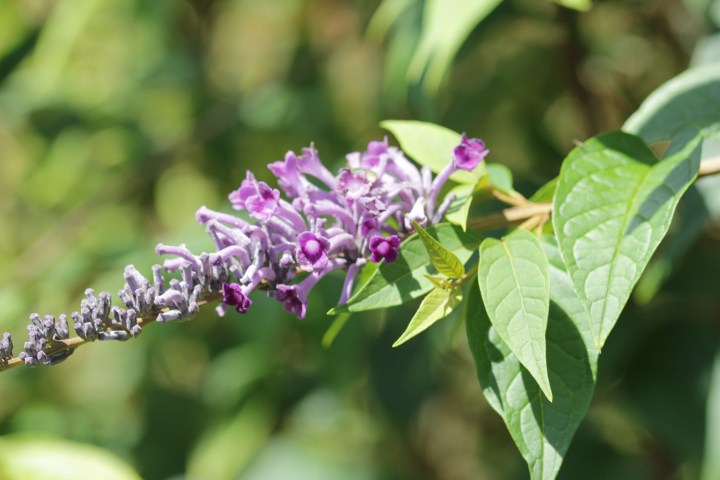 buddleja lindleyana 3 Longstock Nursery, the home of Buddleja!