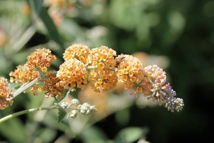 buddleja weyeriana golden glow Longstock Nursery, the home of Buddleja!