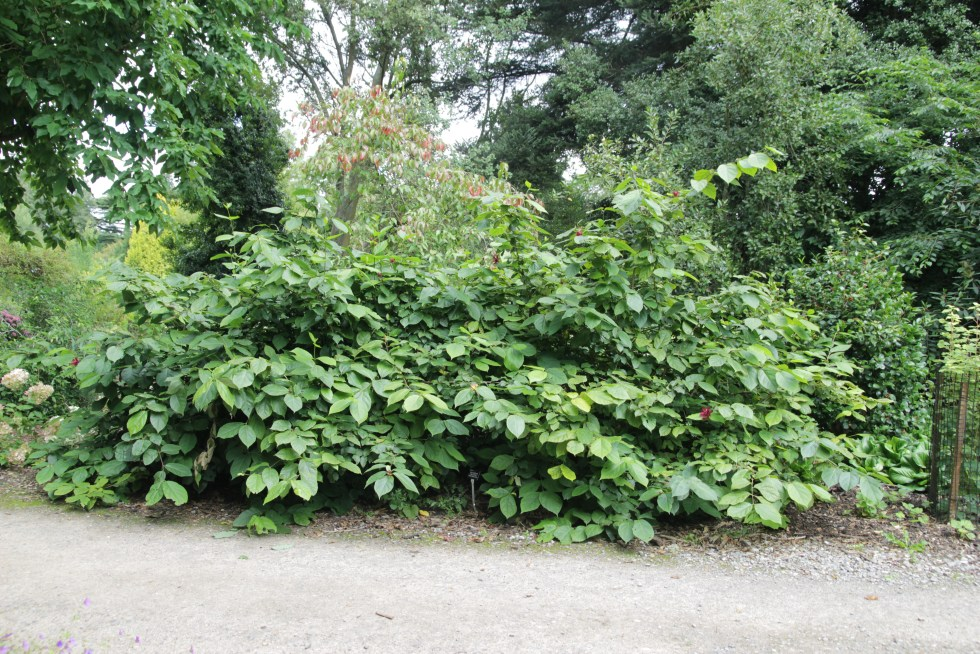 calycanthus x raulstonii hartlage wine 2 Plant of the week  Calycanthus x raulstonii Hartlage Wine
