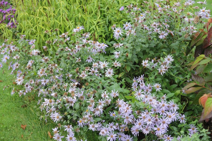 aster monach 5 Plant of the week  Aster x frikartii Monch