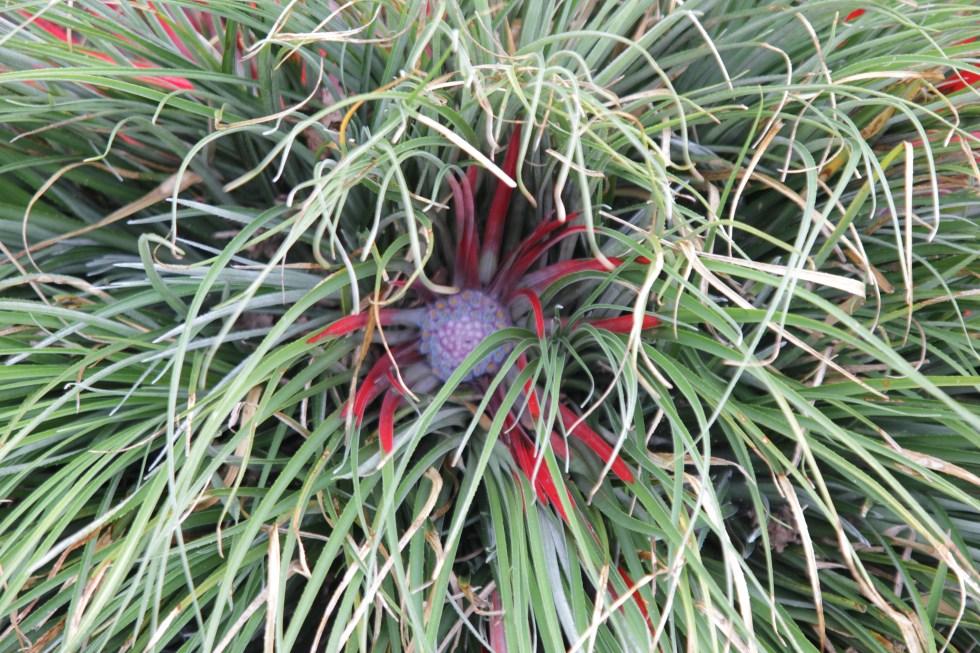 fascicularia bicolor 3 Plant of the week  Fascicularia bicolor