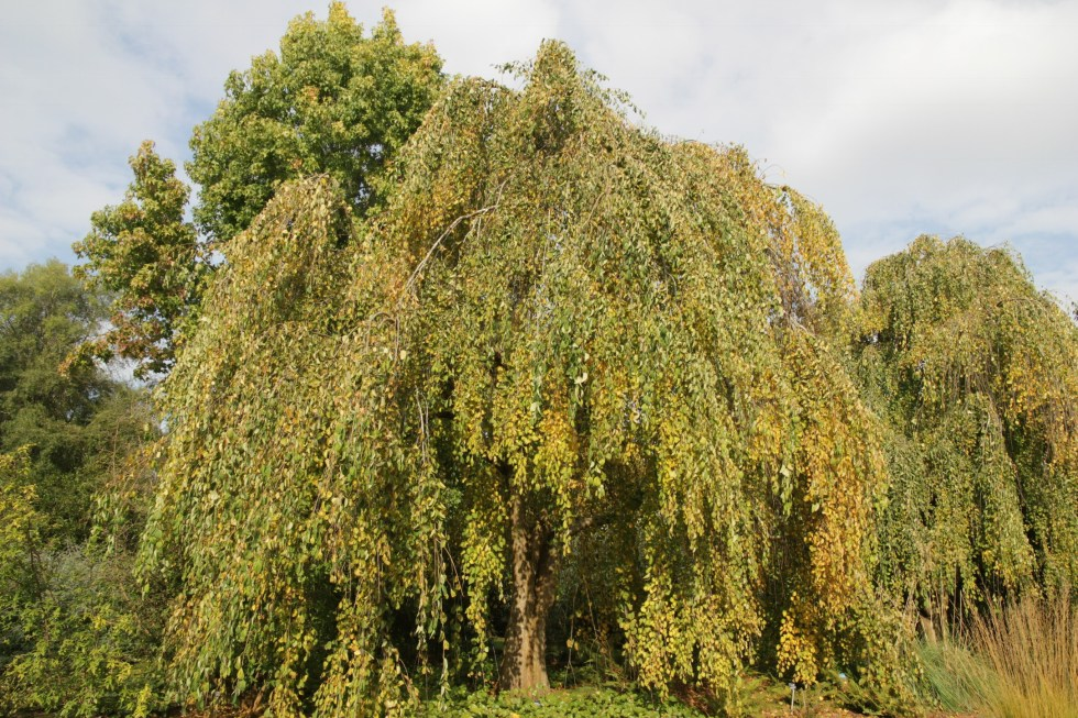 ceridiphyllum japonica morioka weeping Plant of the week Cercidiphyllum japonicum f.Pendulum