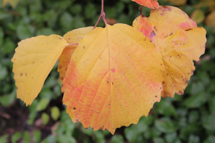 fothergillia major monticola group 2 Plant of the week  Fothergilla major Monticola Group
