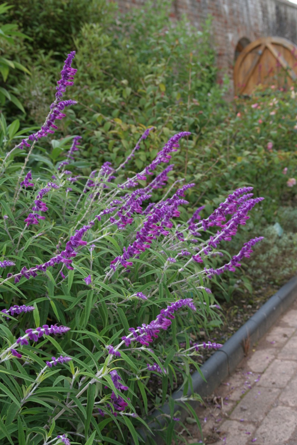 salvia lea Plant of the week Salvia leucantha 'Santa Barbara'