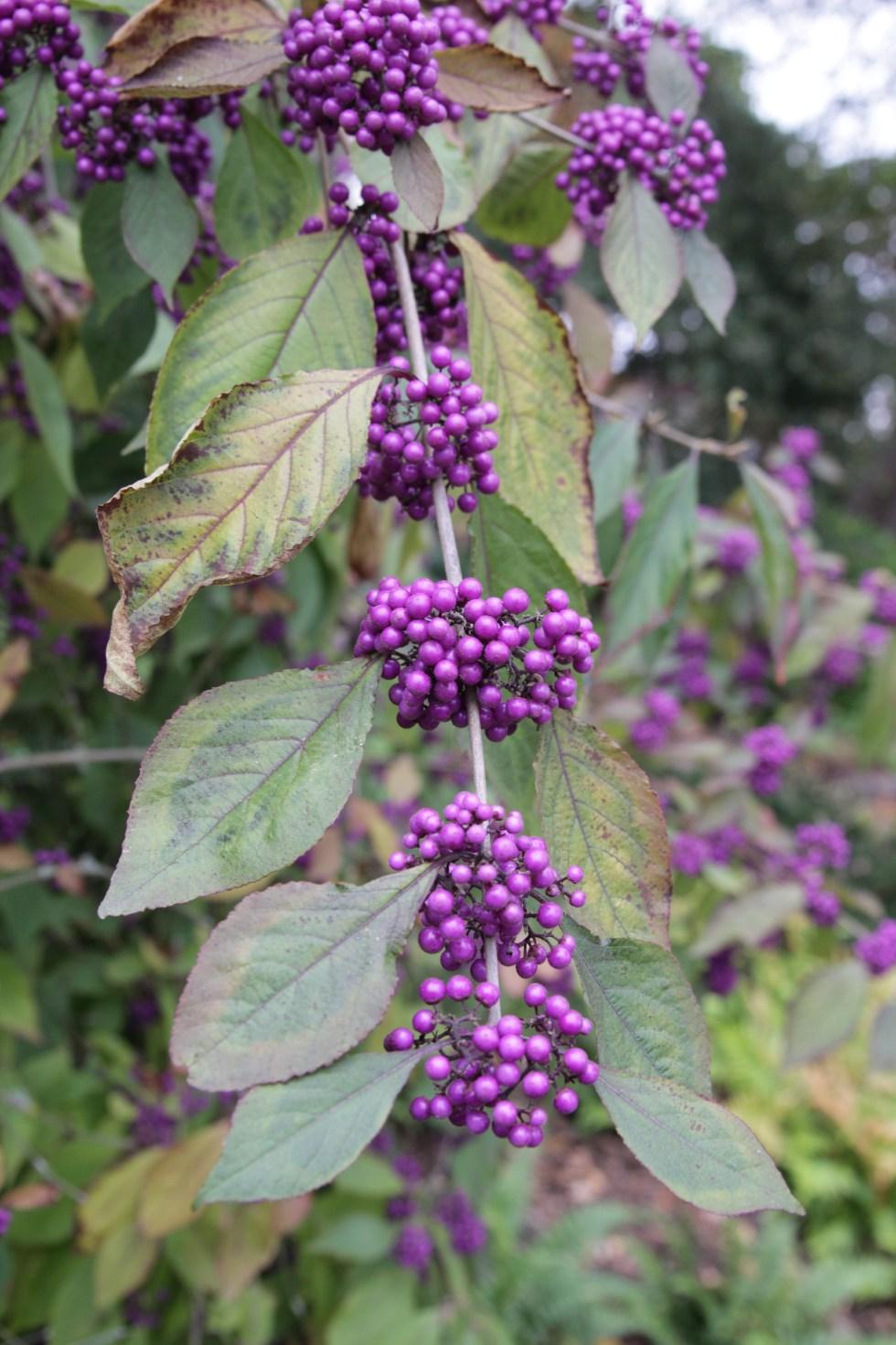 callicarpa bodinieri var giraldii profusion 4 Plant of the week  Callicarpa bodinieri var giraldii ' Profusion'