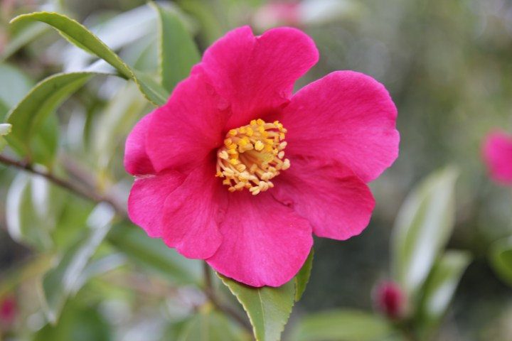 camellia sasanqua crimson king Plant of the week Camellia sasanqua 'Crimson King'