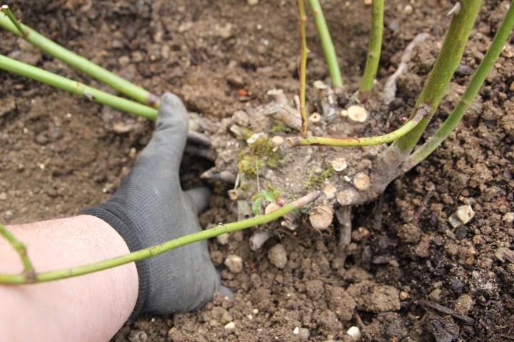 img 3340 Planting bareroot roses