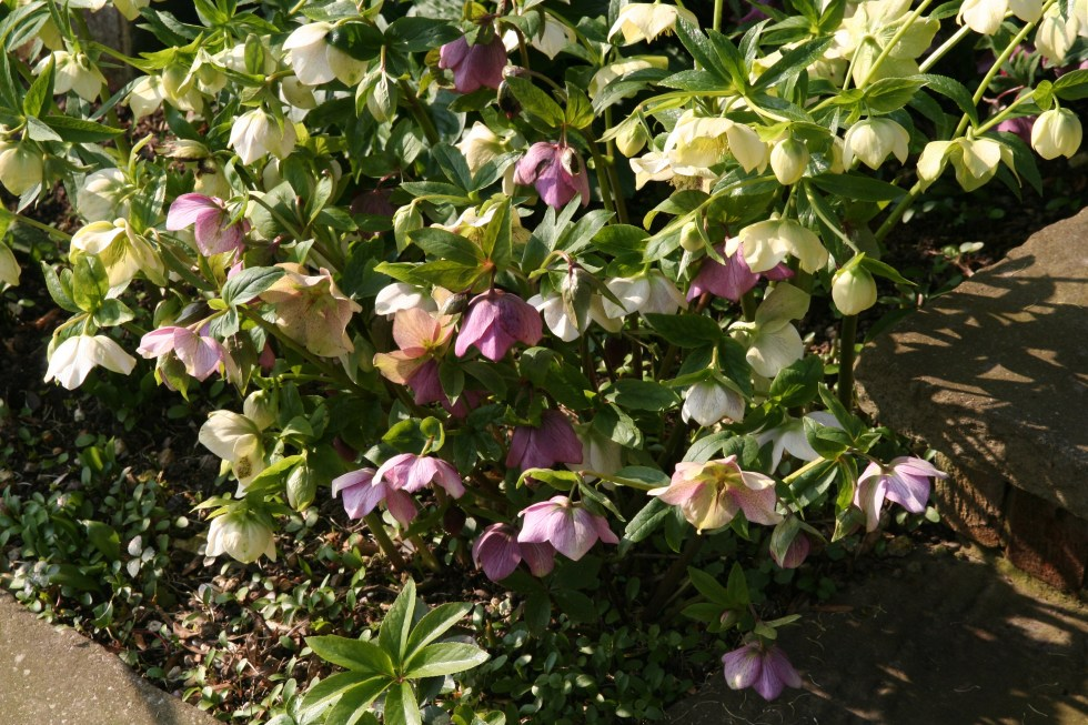 015 1 Cutting back Hellebores