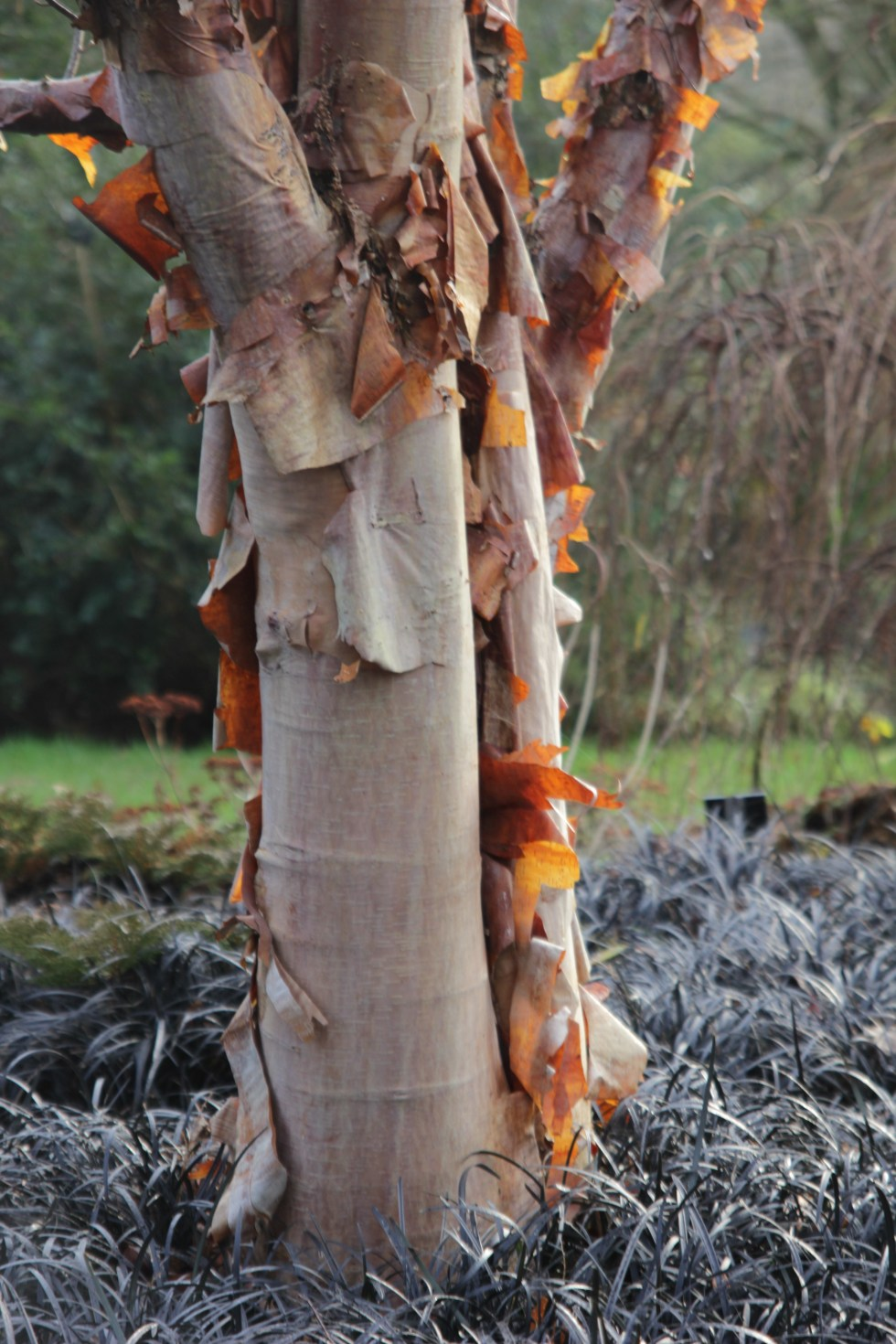 betula albosinensis bowling green 3 Plant of the week  Betula albosinensis 'Bowling Green'