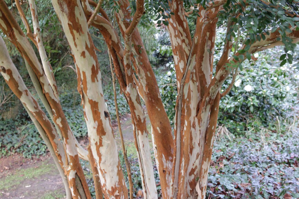 luma apiculata 2 Plant of the week  Luma apiculata