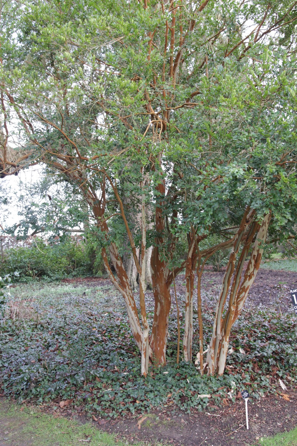 luma apiculata Plant of the week  Luma apiculata