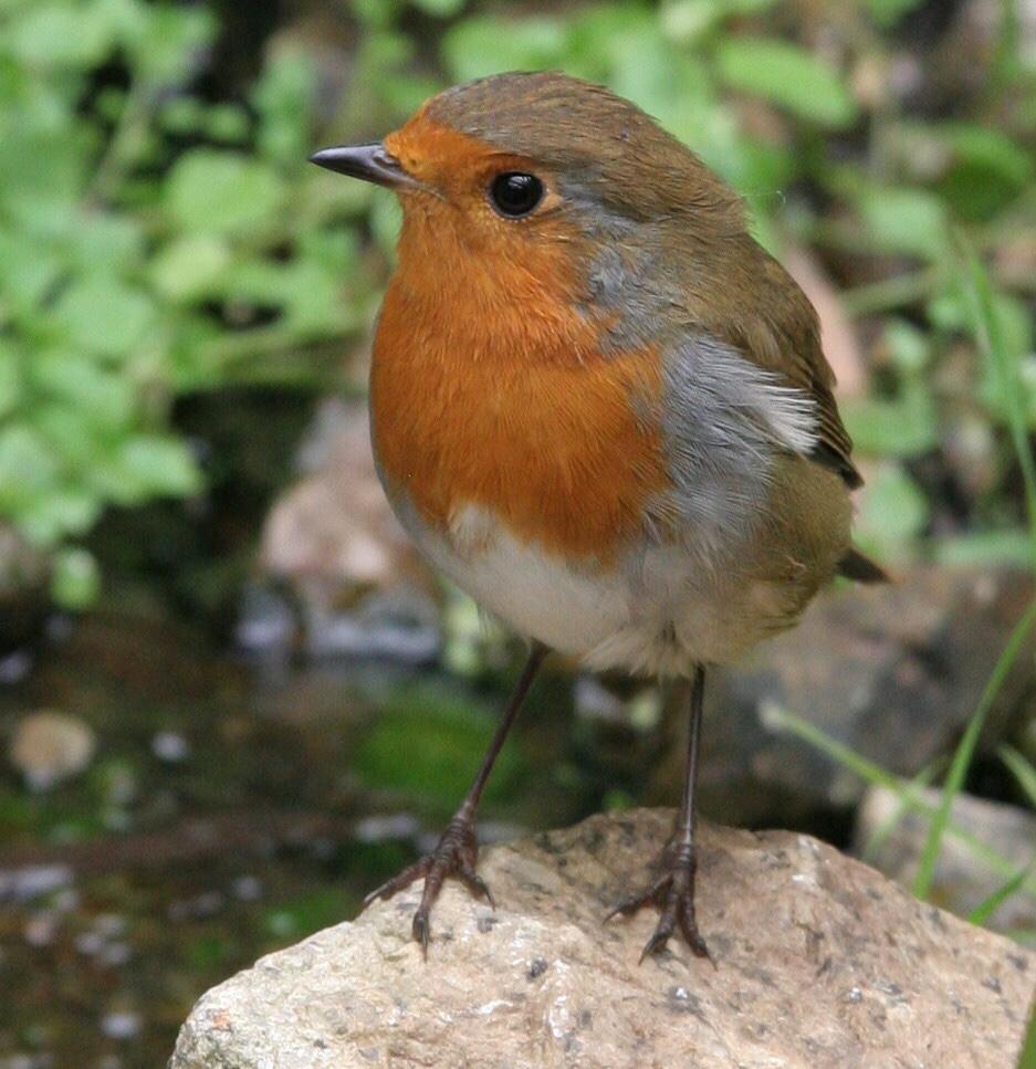 robin 1 National Robin day