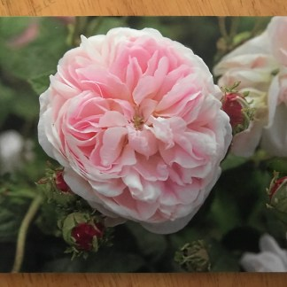 Blank greeting card with Rosa 'Belle Isis'