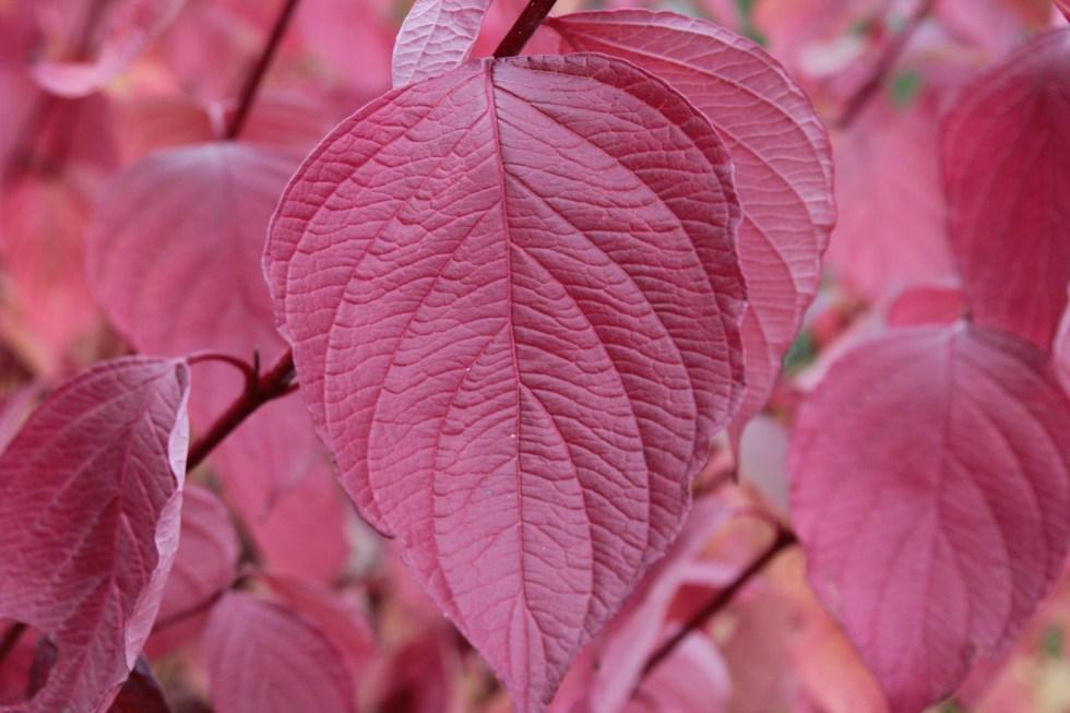 cornus alba sibirca 4 Plant of the week  Cornus Alba 'Sibirica Ruby'