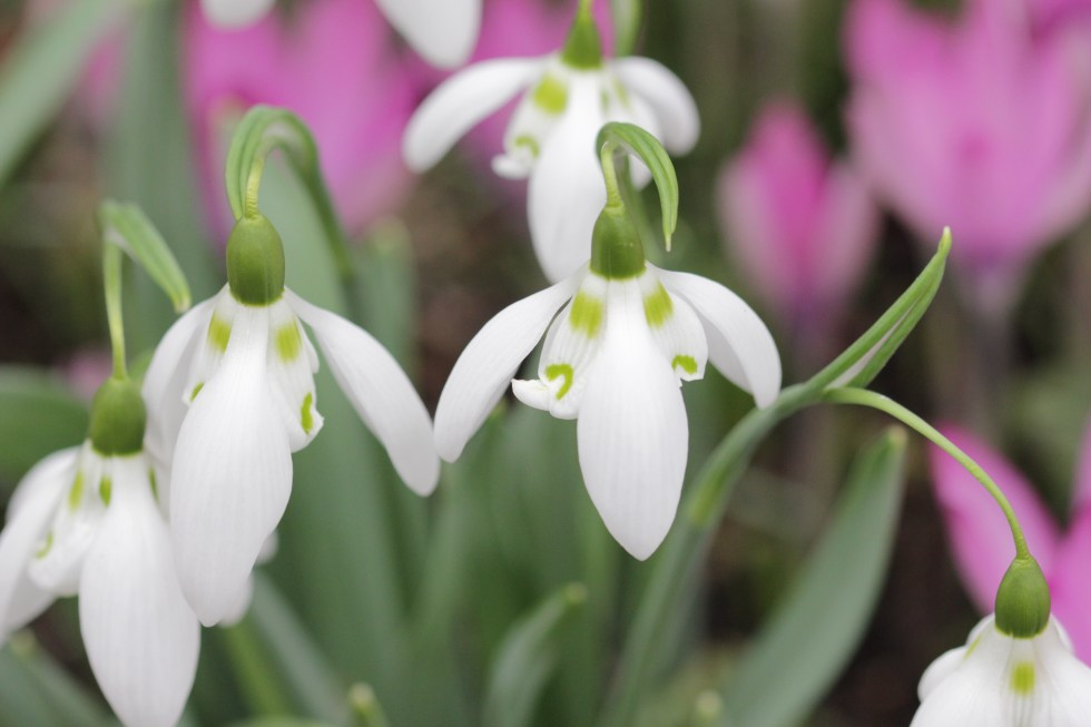 galanthus sallys double The great Snowdrop addiction