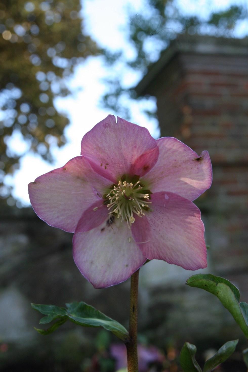 helleborus walbarton rosemary1 2 Plant of the week Helleborus x hybridus Walbertons Rosemary Walhero