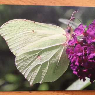 image Blank greeting card featuring a Brimstone Butterfly