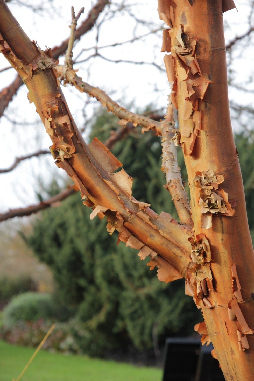 acer griseum 2 Plant of the Week Acer griseum