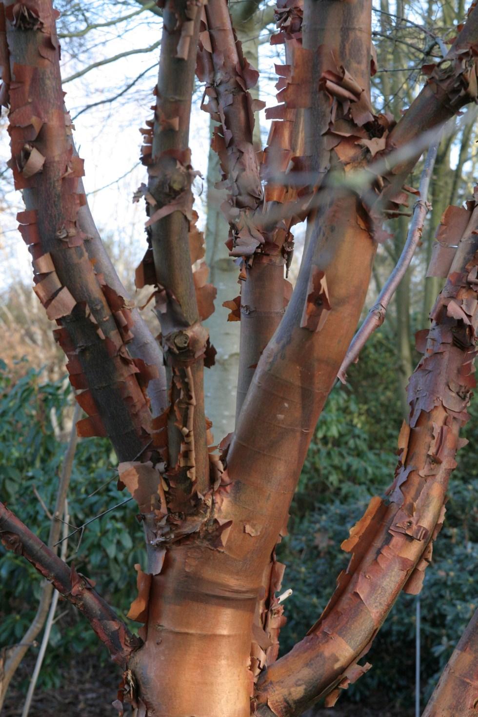 grisuem Plant of the Week Acer griseum
