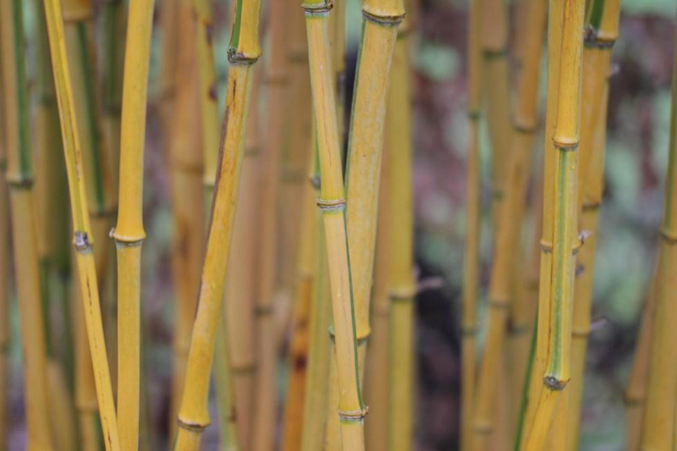 phyllostachys aureosulcata f spectabilis Plant of the week Phyllostachys aureosulcata f. spectabilis