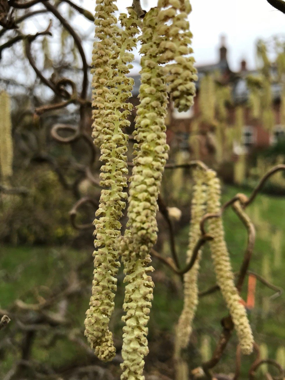 img 2301 Plant of the week  Corylus avellana Contorta