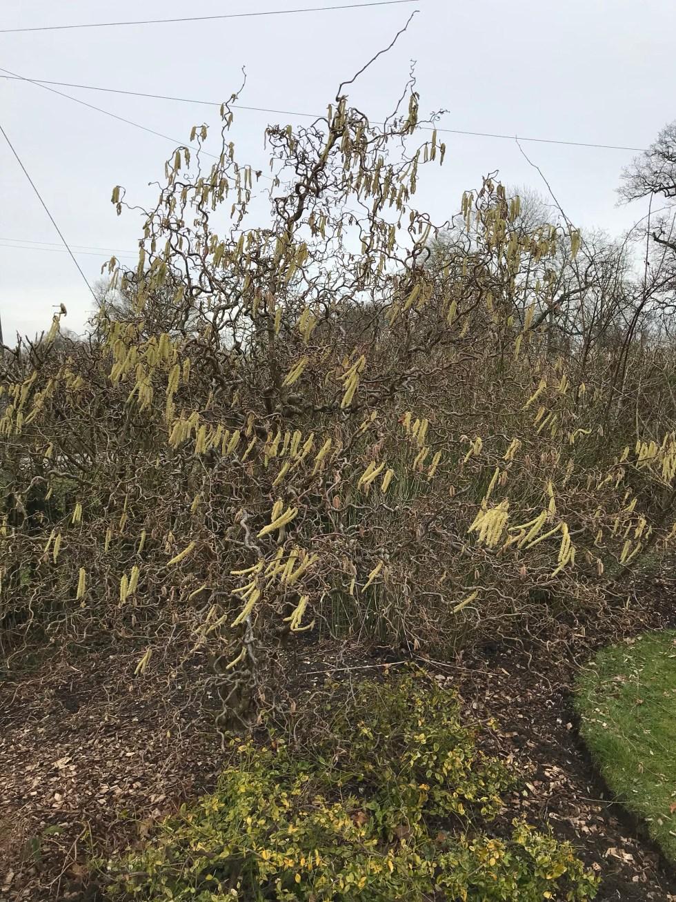 img 2303 Plant of the week  Corylus avellana Contorta