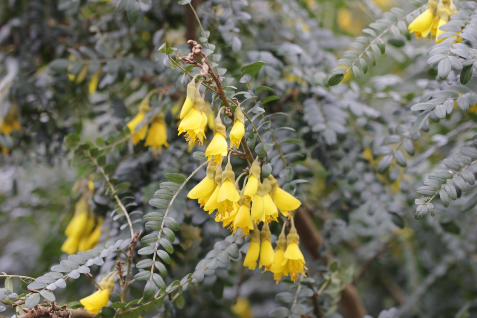 sophera sunking 2 Plant of the week  Sophora 'Sun King'
