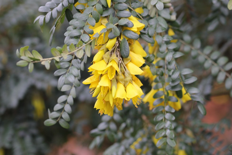 sophera sunking Plant of the week  Sophora 'Sun King'